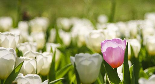 La Festa dei tulipani